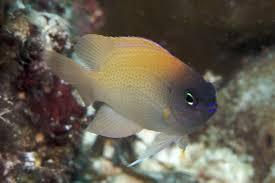 Blue head pink damsel for Salt fish head