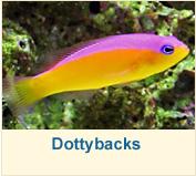 Dottybacks