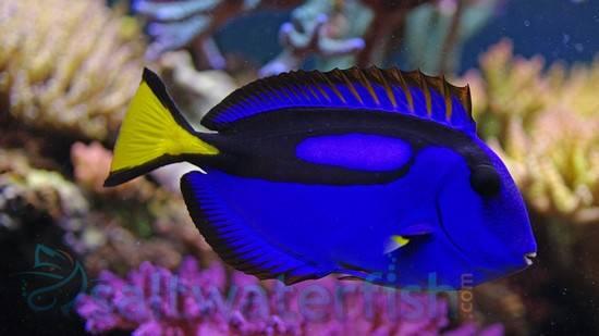 Blue Hippo Tang Tangs Saltwater Fish