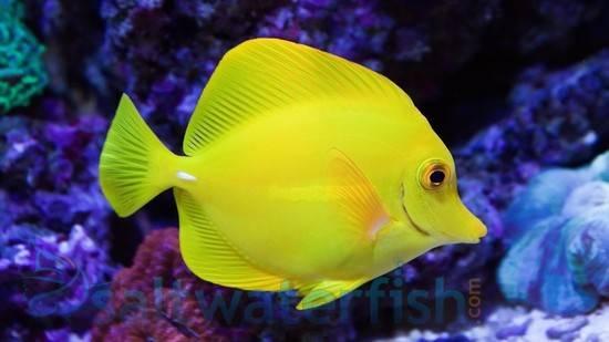 Yellow Tang Tangs Saltwater Fish