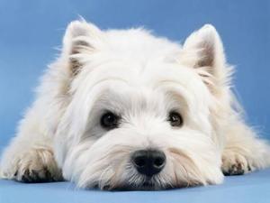 Social west terrier
