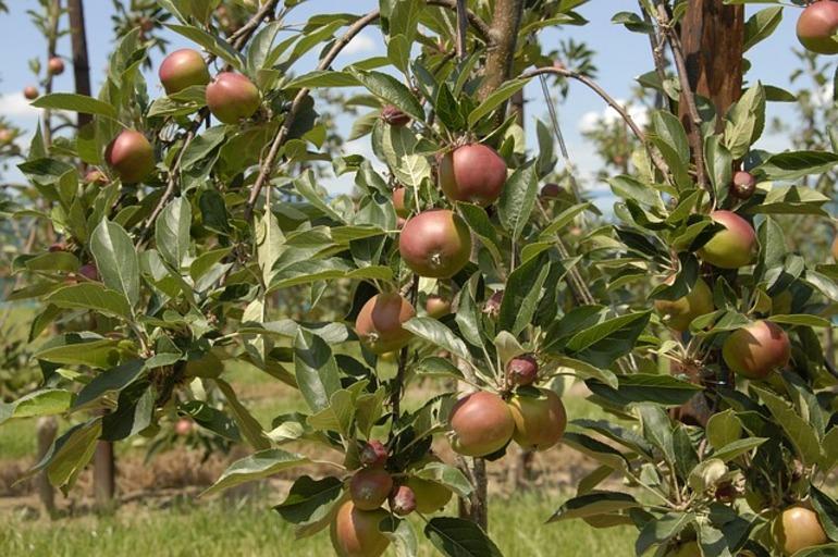 Compatibilidad en los injertos de arboles frutales pot store for Cultivo de arboles frutales en macetas