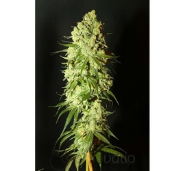 Moby Dick 4:20 (x3)