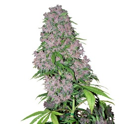 Purple Bud (x3)