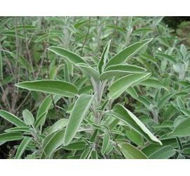 Salvia (Semillas)