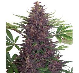Buddha Purple Kush (x3)+1