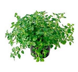 Oregano planta