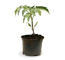 Tomate Cherry Planta