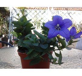 Violeta Azul Silvestre