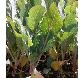 Planta Coliflor