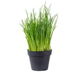 Ciboulette Planta
