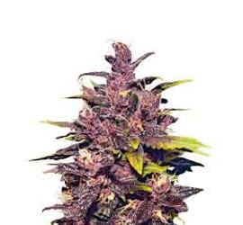 ES Auto Dark Purple (x1)