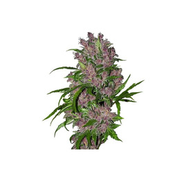 Purple Bud Automatic x3 - White Label