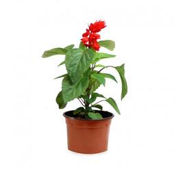Salvia Flora