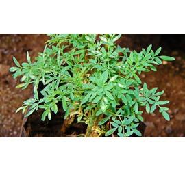 Ruda planta