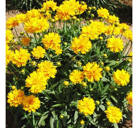 Coreopsis doble