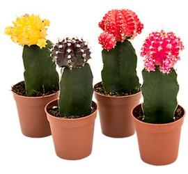 Cactus de Injerto