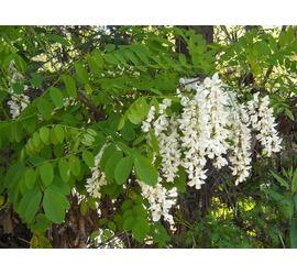 Acacia blanca