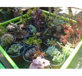 Cactus y Suculenta Mediana