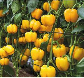 Pimiento Asti Amarillo 1gr