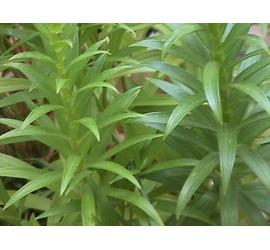 Lilium planta