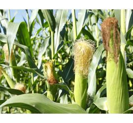 Maiz Planta