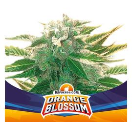 Orange Blossom XXL Auto (x2)