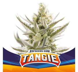 Tangie XXL Auto (x2)