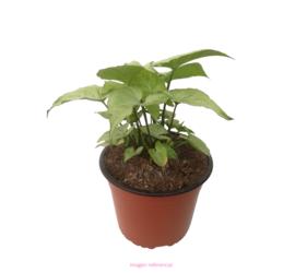 Singomio Planta