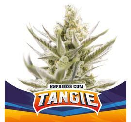 Tangie XXL Auto (x4)