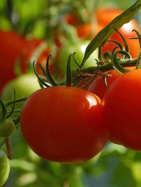 Tomate Cherry 0,8 grs
