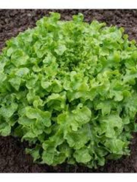 Lechuga salad bowl