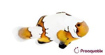 Snowflake Clownfish Premium - Captive Bred Grade A