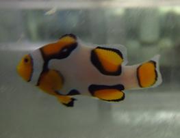Picasso Percula Clownfish - Captive Bred Grade A