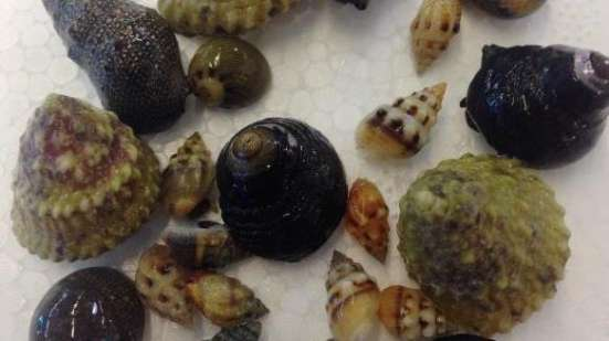 100 Mixed Cleaner Snails & Hermit Crabs