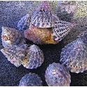 Turban Snail: Black