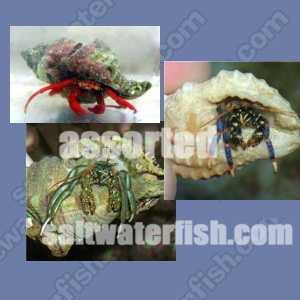 30 Assorted Hermit Crabs + 30 Assorted Cleaner Snails