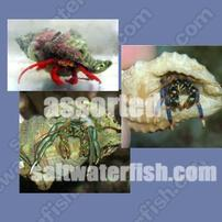 Hermit Crabs - Assorted - Group of 50