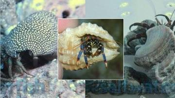 Assorted Hermit Crab