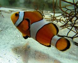 False Percula Clownfish - Aquacultured - Group of 15