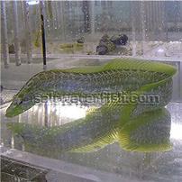 Green Wolf Eel