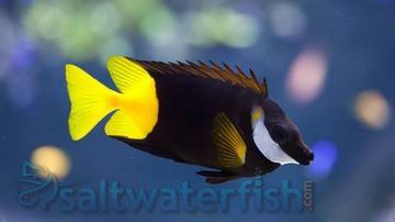 Fiji Bicolor Foxface
