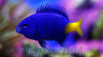 Yellowtail Blue Damsel