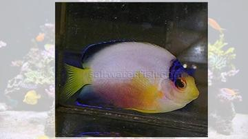 Multicolor Angelfish - Marshall Island