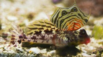 Scooter Blenny - Super Special