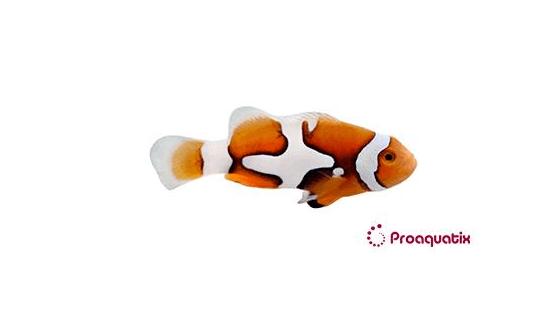 Picasso Percula Clownfish - Captive Bred Grade B