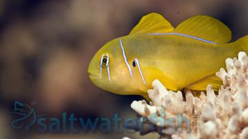 Citron Clown Goby: Yellow - Fiji