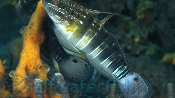 Sleeper Banded Bullet Goby