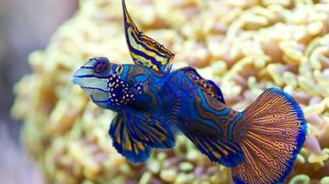 Green Mandarin Dragonet - Limit 1 Super Special Save 70%