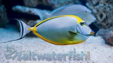 Blonde Naso Tang - Super Special